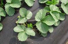Rayson 不織布、 ruixin 、エンバイロバナナ透過性のためのよい価格で雑草防除ファブリック屋外-5