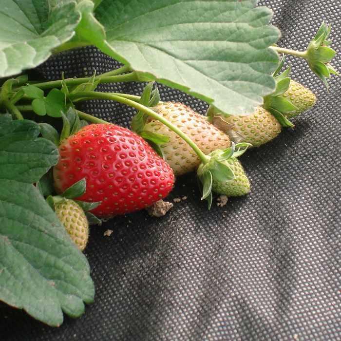 Pp nichtgewebter biologisch abbaubarer Mulch für die Landwirtschaft