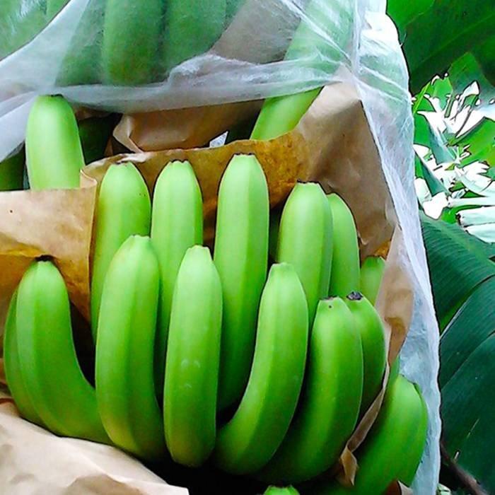 PP zócalos no tejidos para el cultivo de plátano