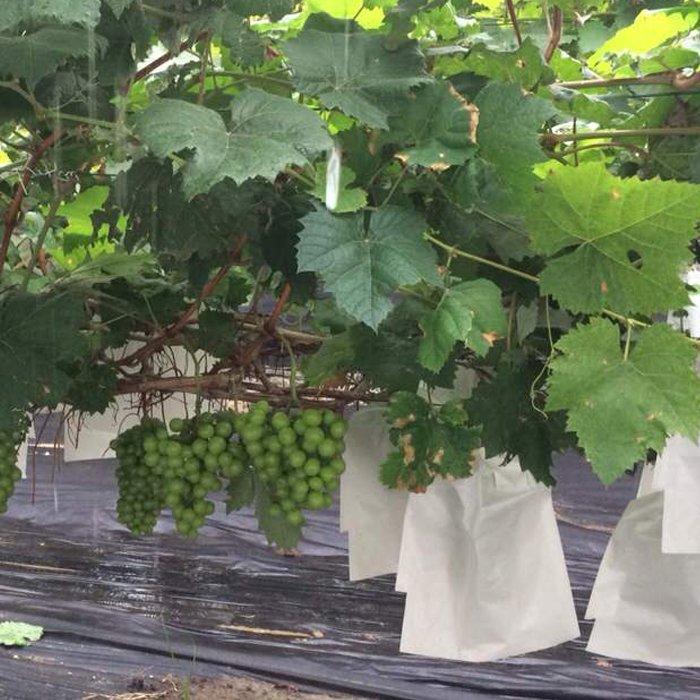 पीपी गैर बुना कपड़े फल संरक्षण बैग