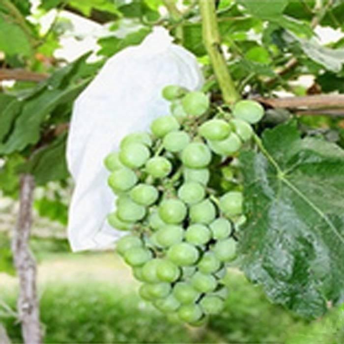 Sacchetto biodegradabile di protezione della frutta del tessuto non tessuto di Spunbond per l'uva