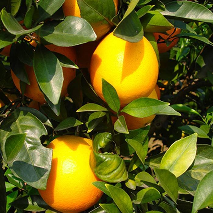 TNT Bolsos de protección de frutas